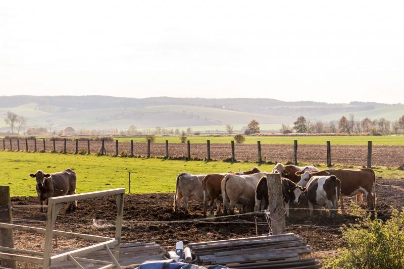 Kühe grasen in den letzten wärmenden Sonnenstrahlen des Jahres