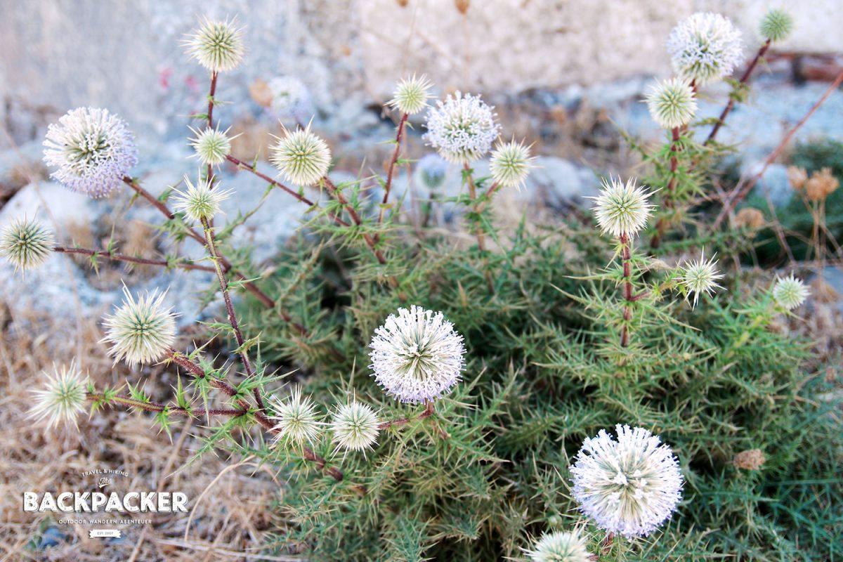 Die Blume des Friedens kann auch dornig sein. Zumindest erobert sich dieses Prachtexemplar die Mauern des Kastell's.