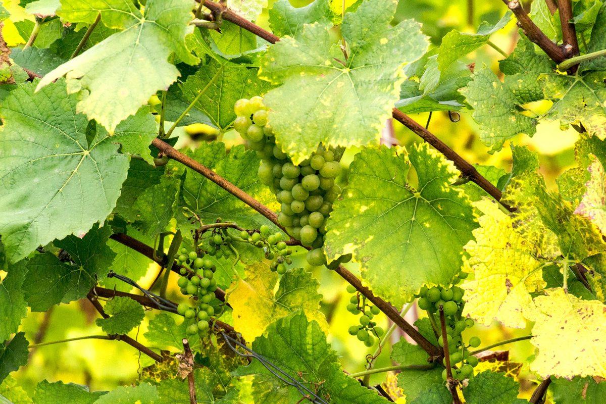 Bereits seit über 1.000 Jahren wird im Saale-Unstrut-Triasland Weinbau wirtschaftlich betrieben. Ein Dank an Römer und Ottonen!