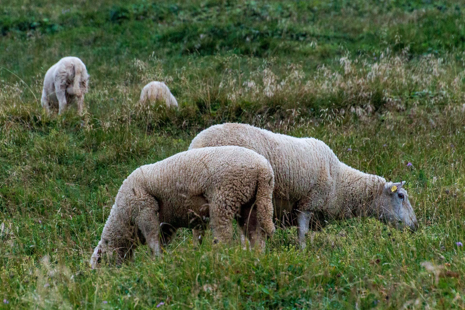 Auch auf 2.000 Höhenmetern grasen Schafe leise bimmelnd vor sich hin