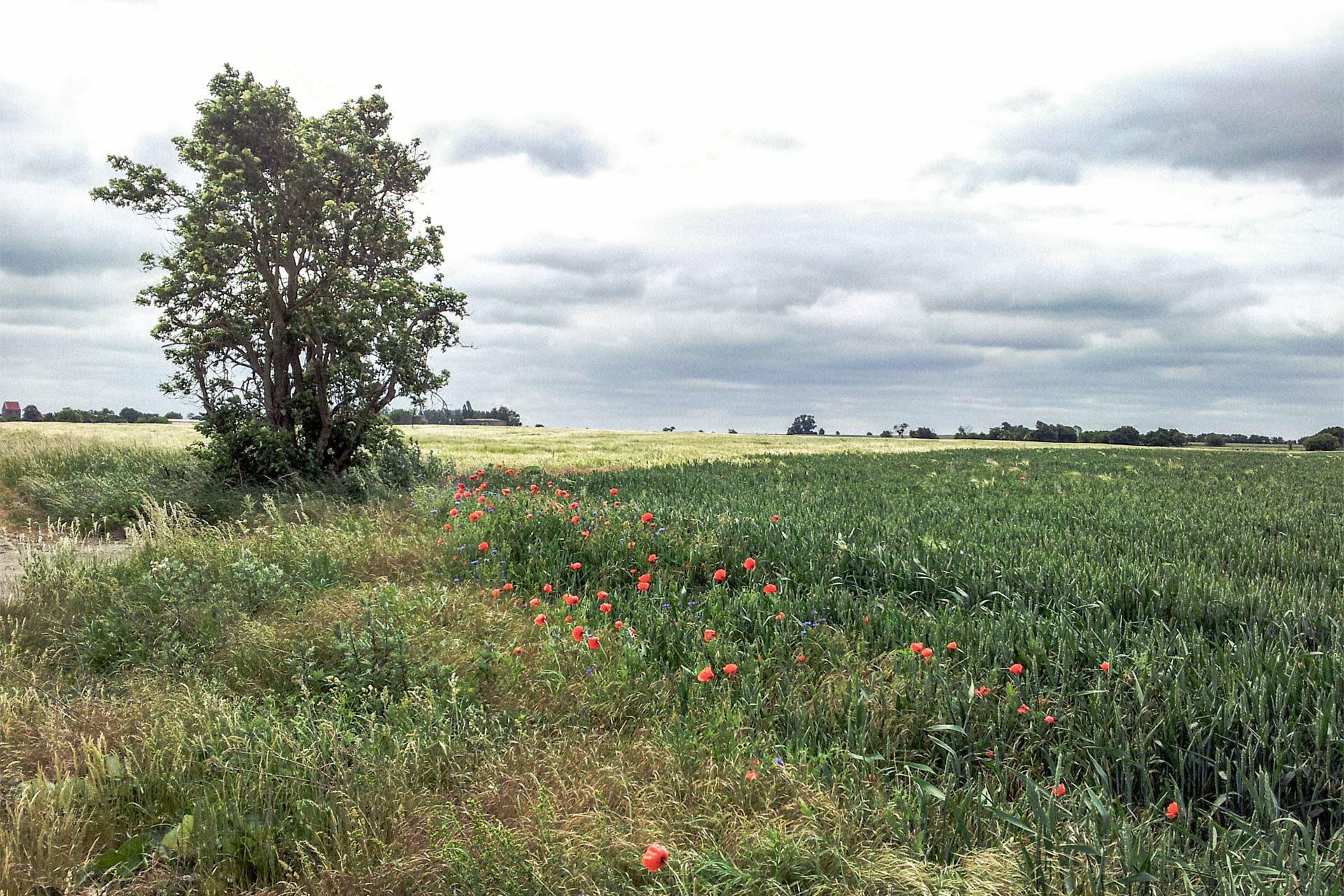Schlecht, wer auf Roggen allergisch reagiert. Völlig verschnupft kann er die Schönheit dieser Landschaft gar nicht richtig würdigen.