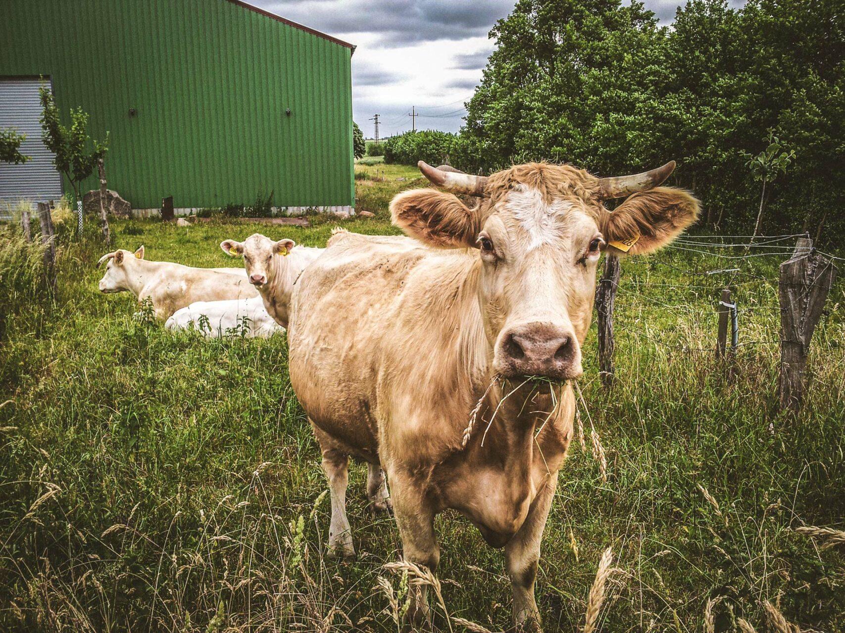 Nein, nicht immer nur Kirchen und Landschaften, auch das liebe Vieh wird in gebührendem Abstand wahrgenommen.