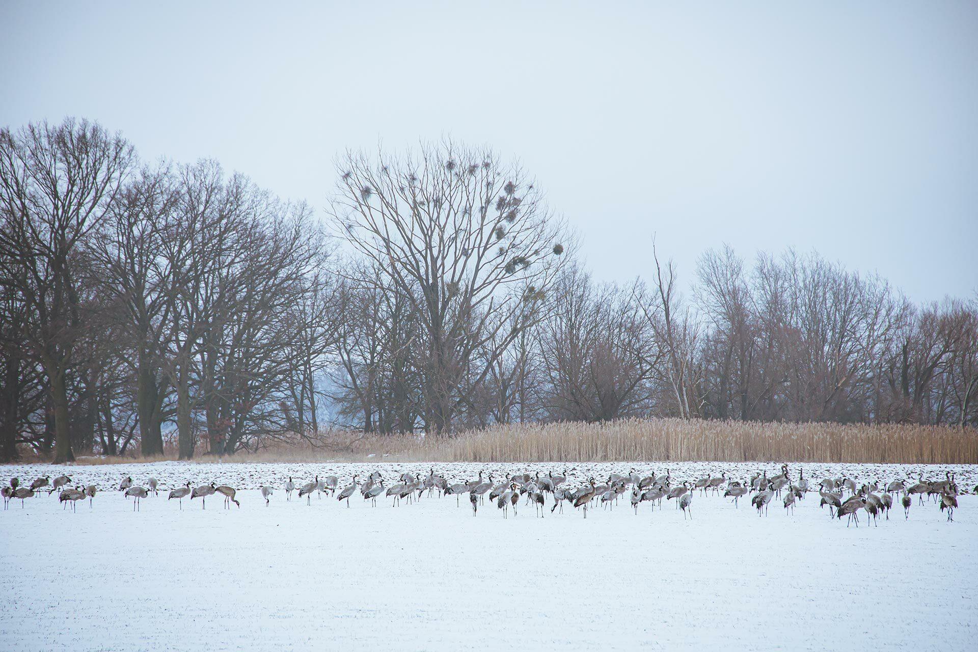 Obwohl erst Mitte Februar und noch tiefster Winter sind die Kraniche zurück und suchen scharenweise auf abgeernteten Feldern nach Essbarem